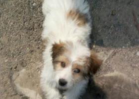 小白狗,眼睛周围一圈和耳朵还有右背一小块是棕色毛。北京市,丰台区