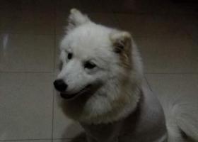 寻狗启示,捡到萨摩耶,希望让它与主人早日相聚,它是一只非常可爱的宠物狗狗,希望它早日回家,不要变成流浪狗。
