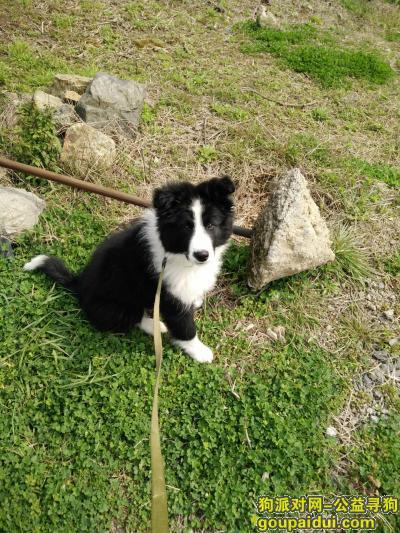 舟山找狗,浙江舟山寻狗,雄性边牧犬,它是一只非常可爱的宠物狗狗,希望它早日回家,不要变成流浪狗。