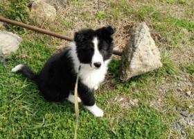 寻狗启示,浙江舟山寻狗,雄性边牧犬,它是一只非常可爱的宠物狗狗,希望它早日回家,不要变成流浪狗。