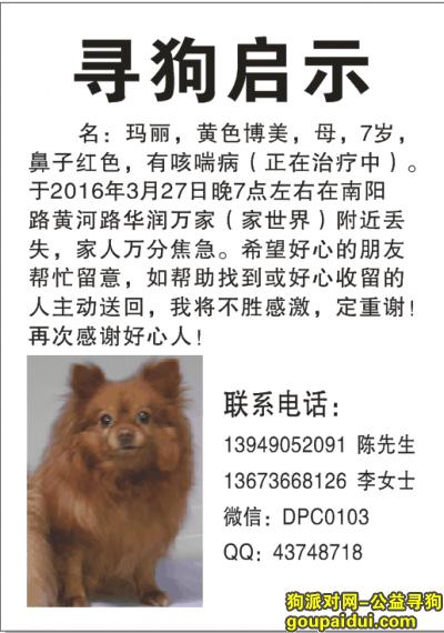 【郑州找狗】,郑州寻狗(黄色博美),它是一只非常可爱的宠物狗狗,希望它早日回家,不要变成流浪狗。