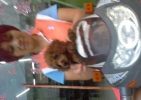 寻狗启示,板芙镇白溪金奥华庭一只棕色泰迪,它是一只非常可爱的宠物狗狗,希望它早日回家,不要变成流浪狗。