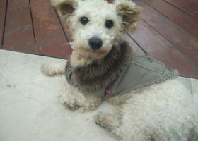 寻狗启示,南坪亿象城,像贵宾串,它是一只非常可爱的宠物狗狗,希望它早日回家,不要变成流浪狗。