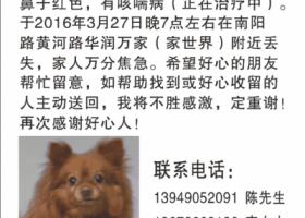 郑州寻狗(黄颜色博美,南阳路黄河路附近丢失)