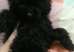 寻狗启示,寻狗启示 黑色泰迪 母狗,它是一只非常可爱的宠物狗狗,希望它早日回家,不要变成流浪狗。