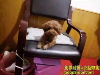 ,家中泰迪走失,棕色毛,它是一只非常可爱的宠物狗狗,希望它早日回家,不要变成流浪狗。