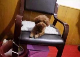 寻狗启示,家中泰迪走失,棕色毛,它是一只非常可爱的宠物狗狗,希望它早日回家,不要变成流浪狗。
