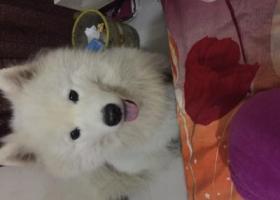 寻狗启示,香港街附近丢失一只萨摩耶公狗,它是一只非常可爱的宠物狗狗,希望它早日回家,不要变成流浪狗。