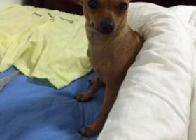 寻狗启示,寻找一只30cm棕色小鹿犬,双辽市商业街东门装潢店附近丢失,酬金1000,它是一只非常可爱的宠物狗狗,希望它早日回家,不要变成流浪狗。