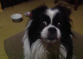 16年4月6日 凌晨在北京市朝内小街走失爱犬一条