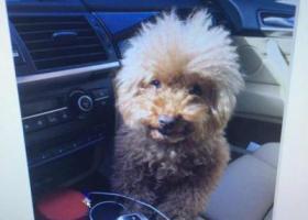 北京昌平区南环路金隅万科城酬谢两万元寻找泰迪犬