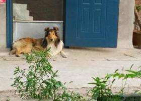 北京市  通州区永顺镇北马场97号寻找苏格兰牧羊犬