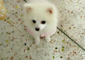 寻狗启示,寻找九月大的博美,母狗,纯白色,它是一只非常可爱的宠物狗狗,希望它早日回家,不要变成流浪狗。