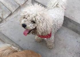 寻狗启示,在锦绣泉城小区捡到一只白色比熊犬,它是一只非常可爱的宠物狗狗,希望它早日回家,不要变成流浪狗。