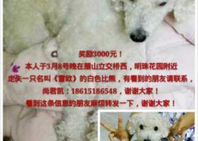 寻找白色已剪毛毛的狗狗雷欧母狗3岁13斤