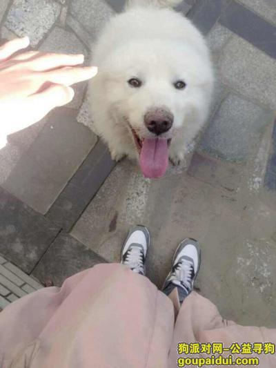 景德镇寻狗,江西省景德镇市4.10下午15.35分公萨摩耶四岁被抢走,它是一只非常可爱的宠物狗狗,希望它早日回家,不要变成流浪狗。