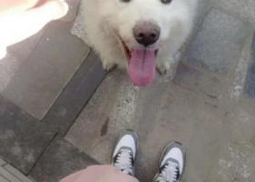 寻狗启示,江西省景德镇市4.10下午15.35分公萨摩耶四岁被抢走,它是一只非常可爱的宠物狗狗,希望它早日回家,不要变成流浪狗。