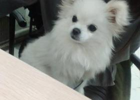 寻狗启示,寻狗一只白色的博美犬     还希望好心人多帮我留意,它是一只非常可爱的宠物狗狗,希望它早日回家,不要变成流浪狗。