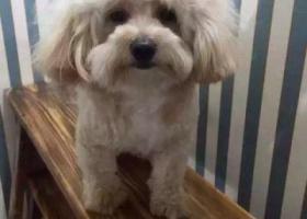 寻狗启示,寻狗-森海都市花园-没有断尾-胸口有一戳白毛,它是一只非常可爱的宠物狗狗,希望它早日回家,不要变成流浪狗。
