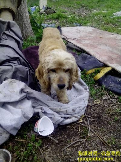 盐城找狗主人,上冈捡到一只狗,大耳朵,短尾,它是一只非常可爱的宠物狗狗,希望它早日回家,不要变成流浪狗。