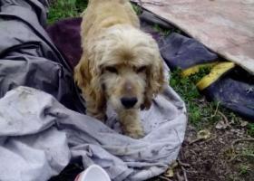 寻狗启示,上冈捡到一只狗,大耳朵,短尾,它是一只非常可爱的宠物狗狗,希望它早日回家,不要变成流浪狗。