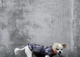 寻狗启示,开平市幕村小学走失爱宠蝴蝶狗,富仔!,它是一只非常可爱的宠物狗狗,希望它早日回家,不要变成流浪狗。