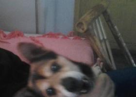 寻狗启示,寻找一只雄性杂交罗威纳,它是一只非常可爱的宠物狗狗,希望它早日回家,不要变成流浪狗。