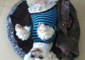 寻狗启示,寻狗,珠海银石雅园走失,白色狗,酬金1000,它是一只非常可爱的宠物狗狗,希望它早日回家,不要变成流浪狗。