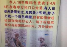 闵行区找咖啡色脖子戴蓝色项圈的贵宾犬