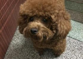 寻狗启示,寻狗启示,红棕色泰迪 一岁半,,它是一只非常可爱的宠物狗狗,希望它早日回家,不要变成流浪狗。
