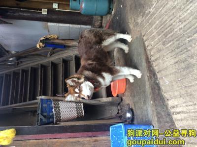 ,丽江束河寻找阿拉斯加宝宝阿拉,它是一只非常可爱的宠物狗狗,希望它早日回家,不要变成流浪狗。