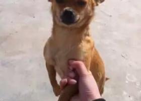 寻狗启示,寻找棕色吉娃娃,四月二十一日在幸福家园丢失,它是一只非常可爱的宠物狗狗,希望它早日回家,不要变成流浪狗。