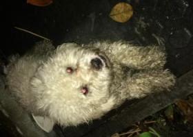 寻狗启示,替比熊BB找家人 公暴牙,它是一只非常可爱的宠物狗狗,希望它早日回家,不要变成流浪狗。
