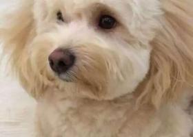 寻狗启示,寻找十分重要的萌宠铛铛!,它是一只非常可爱的宠物狗狗,希望它早日回家,不要变成流浪狗。