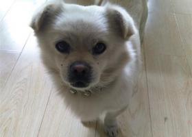 寻狗启示,潍坊小笨狗果果寻狗启事,它是一只非常可爱的宠物狗狗,希望它早日回家,不要变成流浪狗。