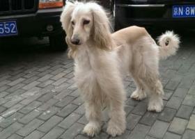 丢失一条白色阿富汗猎犬