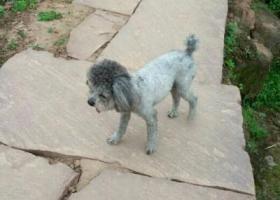 寻狗启示,寻狗启示:寻灰色小体形贵宾公犬,它是一只非常可爱的宠物狗狗,希望它早日回家,不要变成流浪狗。