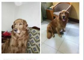 寻狗启示,丢失金毛,3000寻回,它是一只非常可爱的宠物狗狗,希望它早日回家,不要变成流浪狗。
