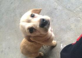 寻狗启示,金毛串有人养不,不然会被吃了,它是一只非常可爱的宠物狗狗,希望它早日回家,不要变成流浪狗。