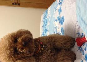 寻狗启示,寻狗启示中型成年泰迪犬走丢,它是一只非常可爱的宠物狗狗,希望它早日回家,不要变成流浪狗。
