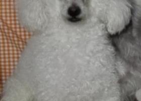 寻狗启示,山东潍坊急寻白色小犬,它是一只非常可爱的宠物狗狗,希望它早日回家,不要变成流浪狗。