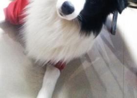寻狗启示,福建安溪重谢寻狗,边境牧羊犬,它是一只非常可爱的宠物狗狗,希望它早日回家,不要变成流浪狗。