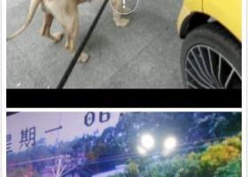 寻狗启示,五华安流#吉水村#寻皮肤病的金毛犬,它是一只非常可爱的宠物狗狗,希望它早日回家,不要变成流浪狗。