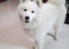 寻狗启示,寻找无锡一只公萨摩耶犬的主人,它是一只非常可爱的宠物狗狗,希望它早日回家,不要变成流浪狗。