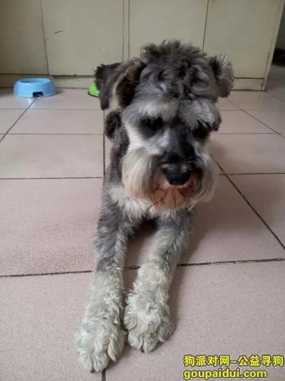 六安寻狗,六安市毛坦厂镇寻找雪纳瑞狗狗,它是一只非常可爱的宠物狗狗,希望它早日回家,不要变成流浪狗。