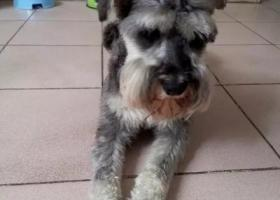 寻狗启示,六安市毛坦厂镇寻找雪纳瑞狗狗,它是一只非常可爱的宠物狗狗,希望它早日回家,不要变成流浪狗。
