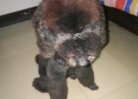 寻狗启示,黑色巨贵五月六日晚走失,它是一只非常可爱的宠物狗狗,希望它早日回家,不要变成流浪狗。