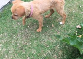 寻狗启示,心爱宠物狗丢失,非常焦急,它是一只非常可爱的宠物狗狗,希望它早日回家,不要变成流浪狗。