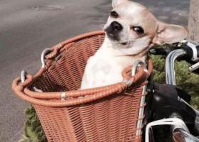 寻狗启示,赏金2000元寻吉娃娃,它是一只非常可爱的宠物狗狗,希望它早日回家,不要变成流浪狗。