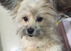 寻狗启示,义乌市北苑街道柳青区片附近走丢雪纳瑞串串,它是一只非常可爱的宠物狗狗,希望它早日回家,不要变成流浪狗。